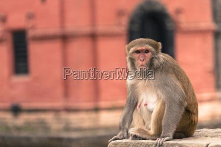 young rhesus macaque monkey at swayambhunath