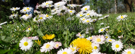 daisies on the meadow