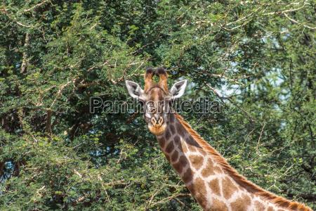southern giraffe giraffa giraffa