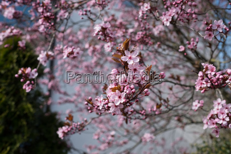dying plant blood plum with pink
