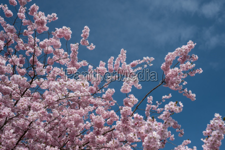 pink blossoms japanese blossom cherry