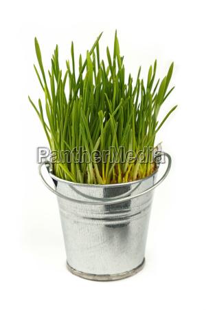 spring green grass growing in bucket