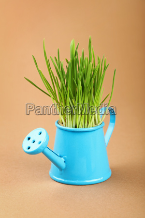 spring green grass in watering pot