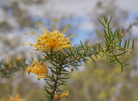 australian golden wildflower grevillea molonglo