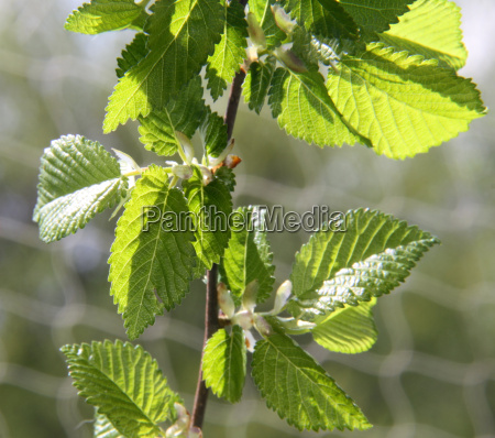 young leaves of field elm