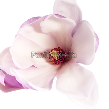 pink flower of magnolia isolated on