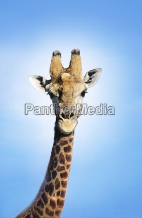 maasai giraffe giraffa camelopardalus against blue