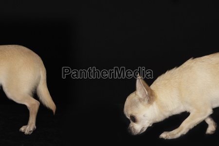 chihuahua following another dog