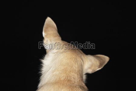 rear view of chihuahua