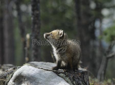 fox cub sitting on tree stump