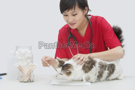 asian female veterinarian cleaning cats ear