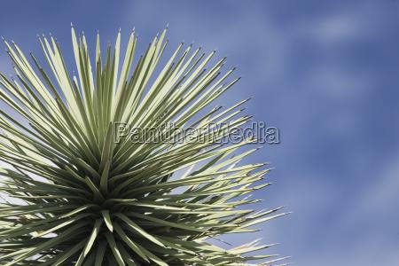 joshua tree close up