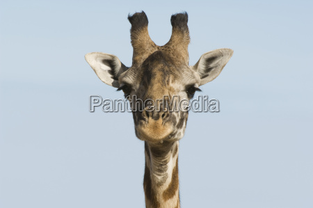 giraffe giraffa camelopardalis close up of
