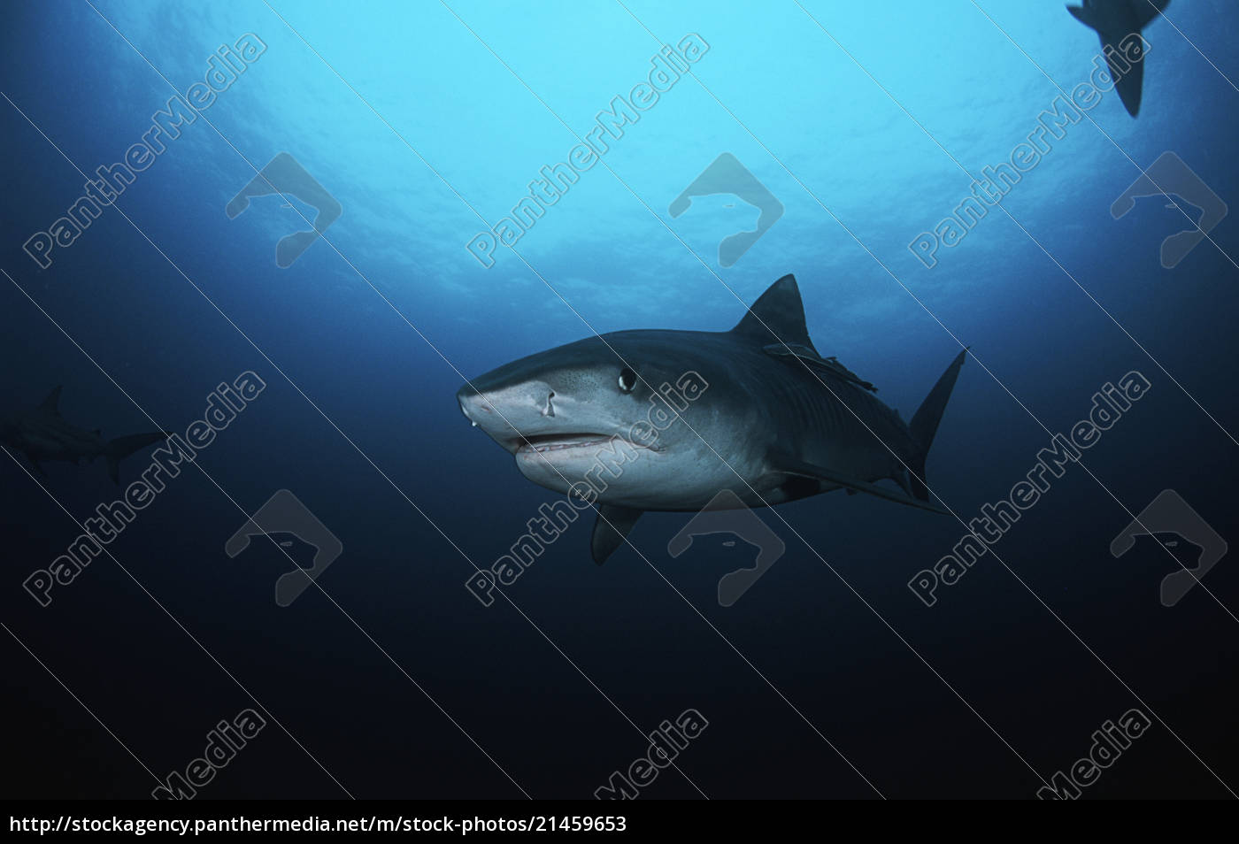 tiger, shark, (galelcerdo, cuvieri), underwater, view - 21459653
