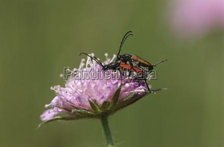 two longhorn beetles mating on field