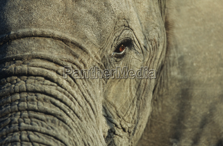 close up of african elephant loxodonta