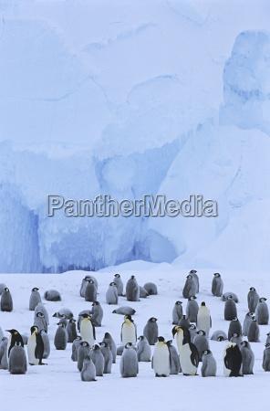 emperor penguin aptenodytes forsteri colony