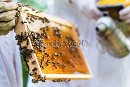 beekeeper with smoker controlling beeyard and