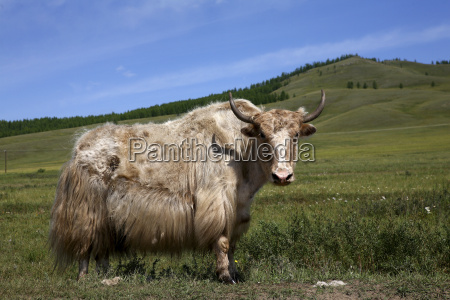 mongolia arkhangai aimag north steppe terkhiin