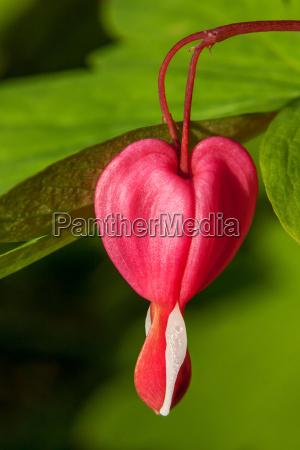 bleeding heart a single bloom