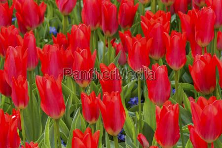 red tulips green leaves fields keukenhoff