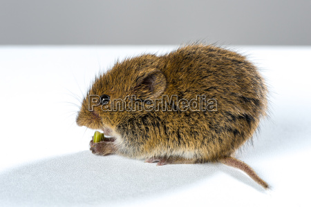 field mouse on blank white table