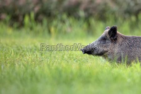 wild boar in the grass a