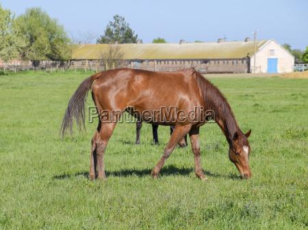 horses graze in the pasture paddock