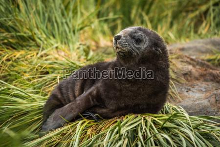 antarctic fur seal pup on grass