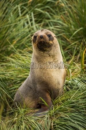 antarctic fur seal seated in tussock