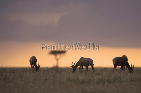 waterbucks grazing on field during sunset