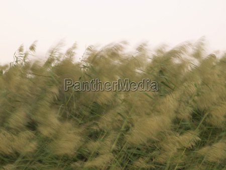 pampas grass growing in field against