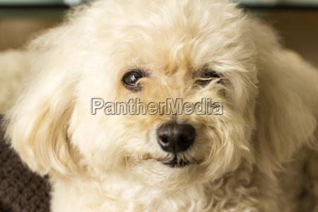 cute toy poodle lying on the