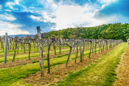 vineyard in the spring season