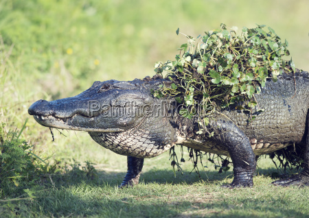 alligator walking with some water plants