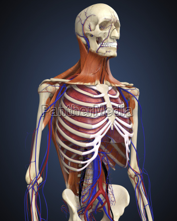 human upper body showing bones lungs