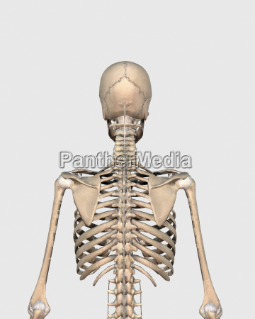 rear view of human skeletal system