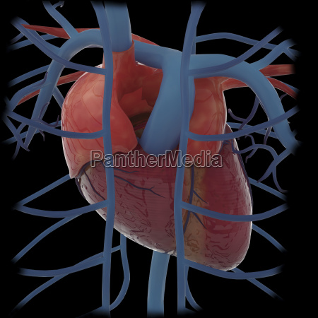 3d rendering of human heart and