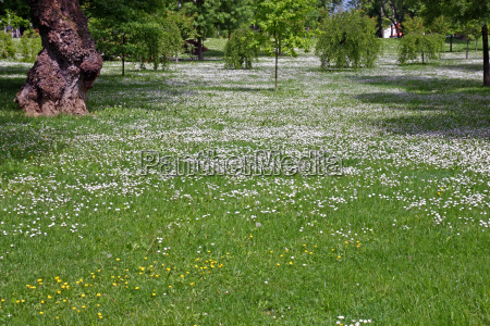 meadow with white flowers