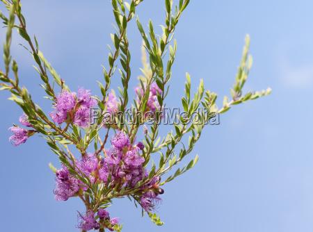 australian melaleuca thymifolia native purple wildflower