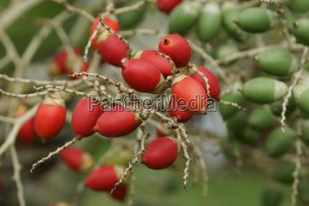 fruit of the christmas palm sao