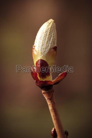 chestnut leaves bud