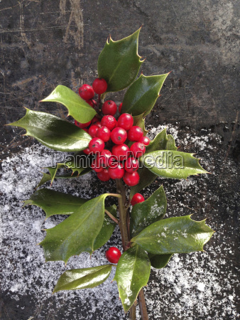 close up of holly berries and