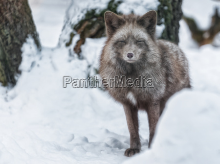polar fox stands in the snow