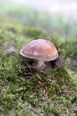 a fresh porcini mushroom in the