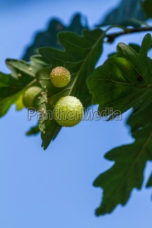 gall on an oak leaf