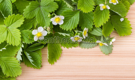 fresh leaves and flowers of the