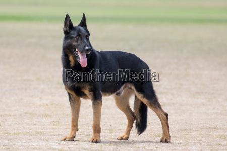 police dog portrait