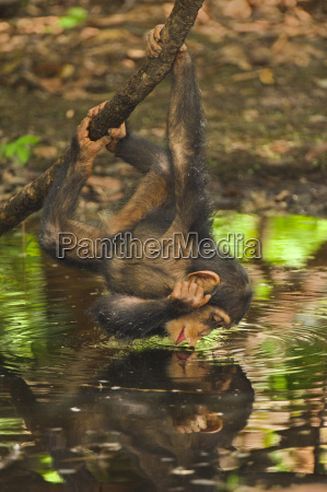 chimpanzee infant interacting with her reflection