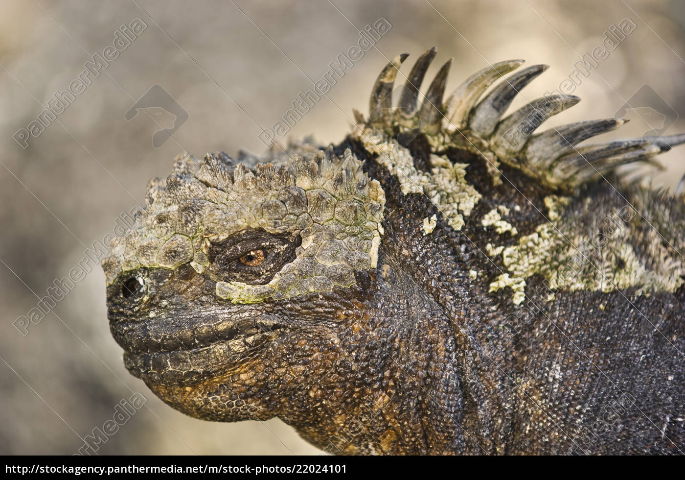 marine, iguana, , amblyrhynchus, cristatus, , galapagos, islands - 22024101